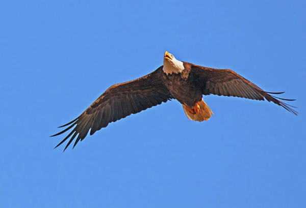 Photograph - Soaring Eagle by Karl Ford