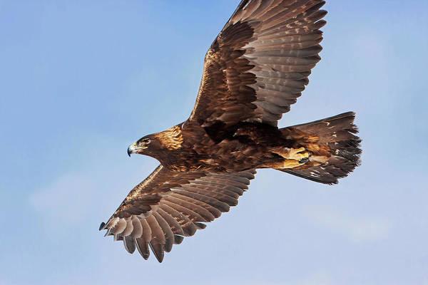 Photograph - Soaring Golden Eagle by Mark Miller