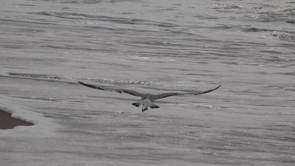 Photograph - Soaring Gull by  Newwwman