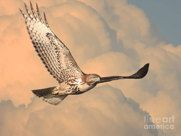 Photograph - Soaring Hawk by Wingsdomain Art and Photography