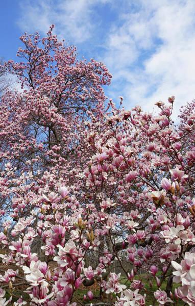 Soaring Magnolia Art Print