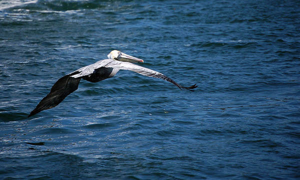 Photograph - Soaring Pelican by Donna Proctor