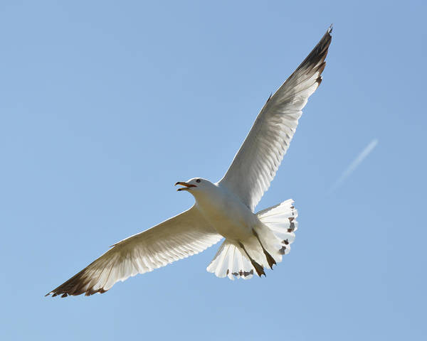 Wall Art - Photograph - Soaring Seagull by John Ricker