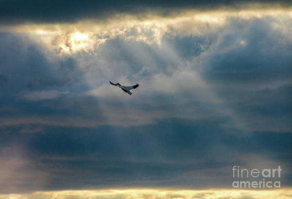 Wall Art - Photograph - Soaring Skagit Snow Geese Sunrays by Mike Reid