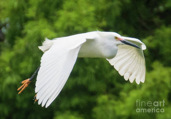 Photograph - Soaring Snowy Egret by Vincent Billotto