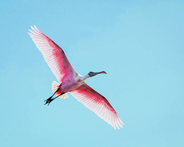Photograph - Soaring Spoonbill by Dawn Currie