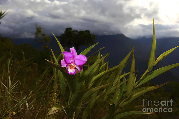 Photograph - Sobralia Orchid In Cloud Forest by James Brunker