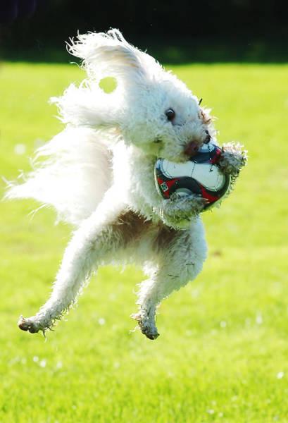 Photograph - Soccer Dog-3 by Steve Somerville