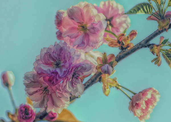 Wall Art - Photograph - Soft Almond Spring Blossoms by Hans Zimmer