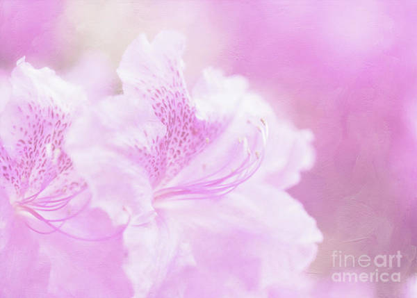 Photograph - Soft And Lovely Pink Rhododendrons  by Anita Pollak