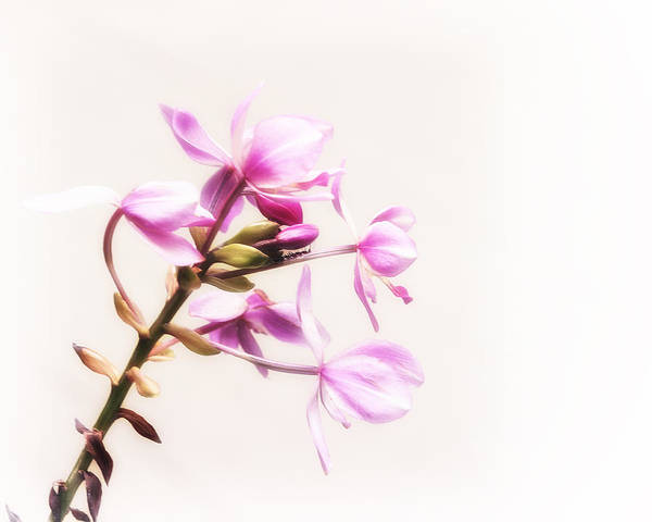 Wall Art - Photograph - Soft And Pink by Camille Lopez