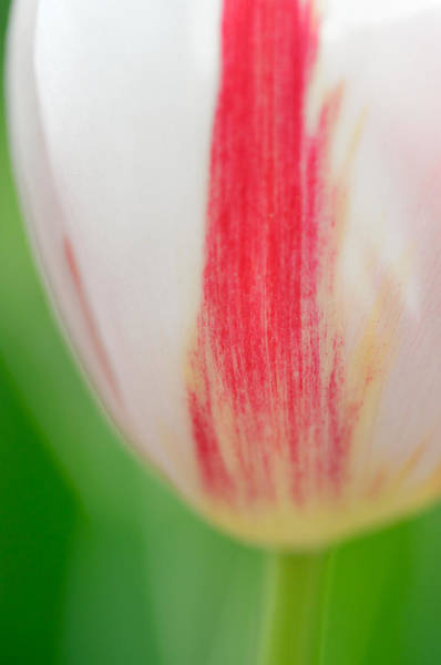 Photograph - Soft And Tender Tulip Closeup Red White Green by Matthias Hauser