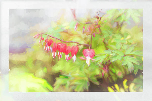 Photograph - Soft Bleeding Hearts by Natalie Rotman Cote