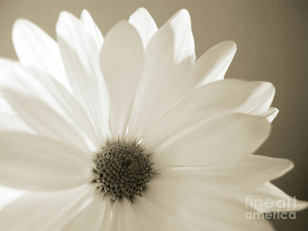 Photograph - Soft Daisy by Kelly Holm