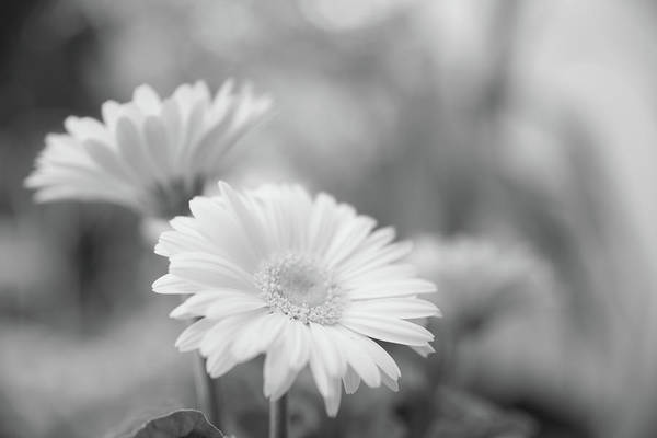 Photograph - Soft Focused Gerbera Daisies by SR Green