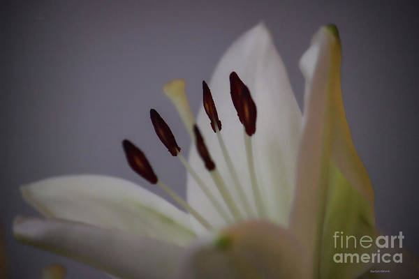 Photograph - Soft Lily by Roberta Byram