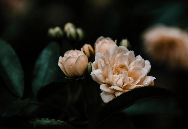 Photograph - Soft Mini Roses by Andrea Anderegg