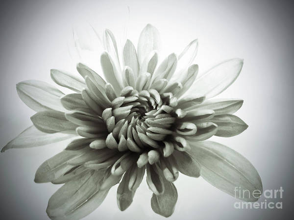 Photograph - Soft Mum by Kelly Holm