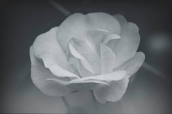 Photograph - Soft Petals by Teresa Wilson