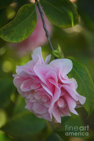 Camelia Photograph - Soft Pink Camellia by Teresa Wilson