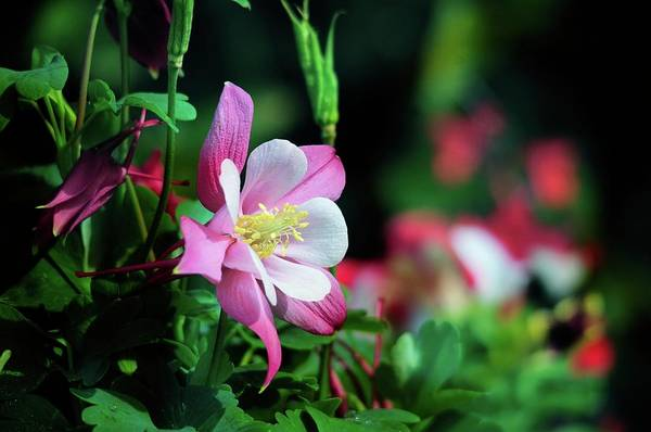 Photograph - Soft Pink Columbine by Lynn Bauer