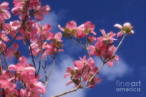 Photograph - Soft Pink Dogwood Blossoms by Patricia Strand