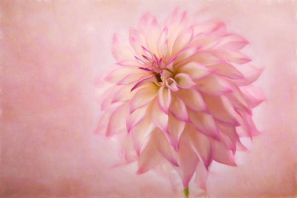 Photograph - Soft Pink Glow by Mary Jo Allen