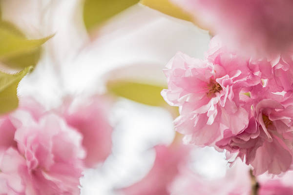 Photograph - Soft Pink by Karen Saunders
