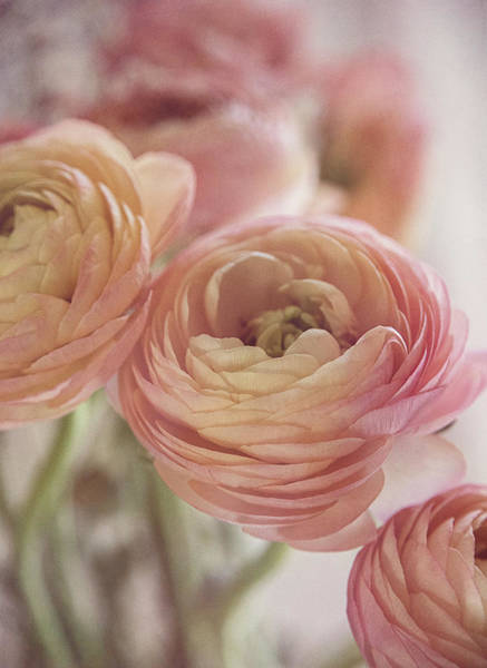 Photograph - Soft Pink Ranunculus by Teresa Wilson