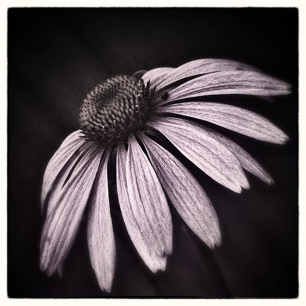 Coneflowers Photograph - Soft Pink by Robert Fawcett