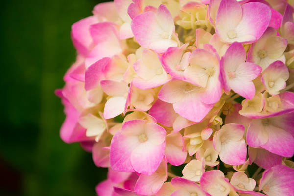 Photograph - Soft Pinks by Parker Cunningham
