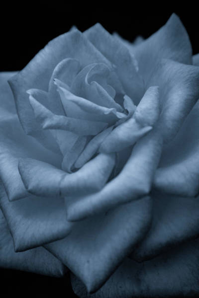 Photograph - Soft Rose 4691 Bw_2 by Steven Ward