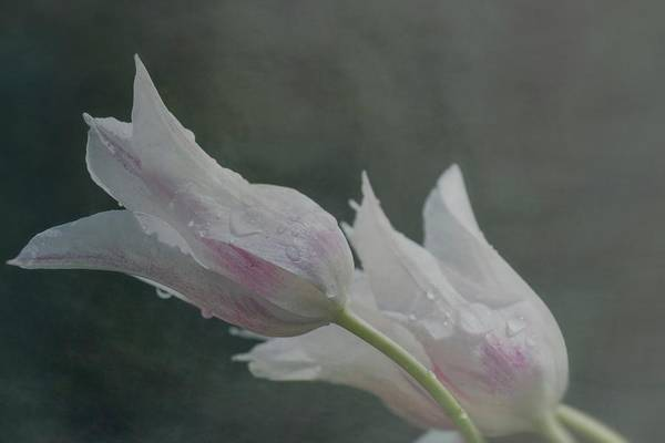 Photograph - Soft Tulips by Teresa Wilson