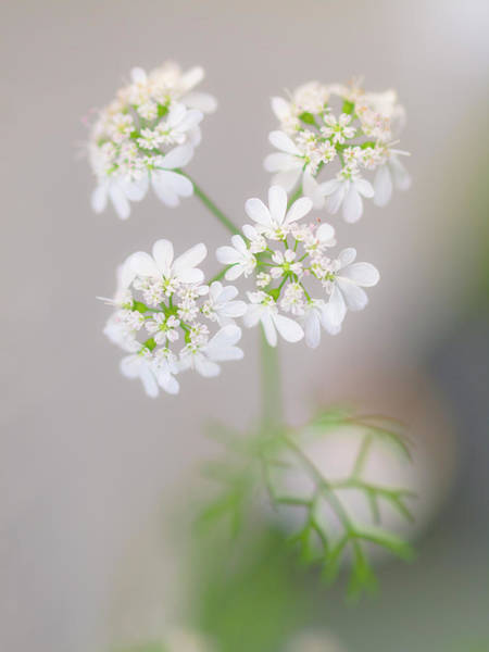 Photograph - Soft White Flowers by Christopher Johnson