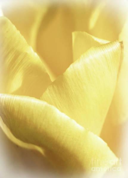 Photograph - Soft Yellow Tulip Abstract by Karen Adams