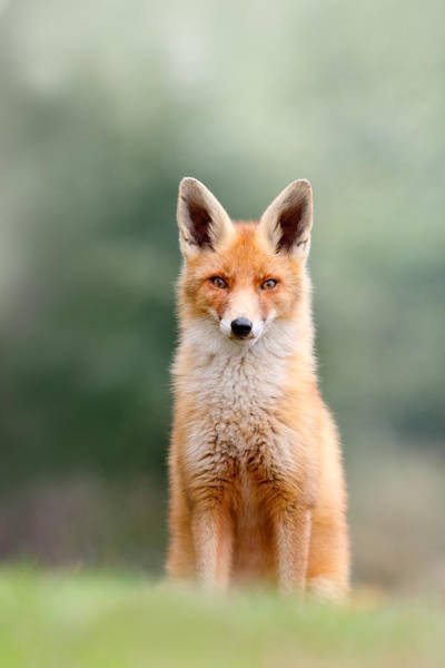 Vulpes Vulpes Photograph - Softfox - Red Fox Sitting by Roeselien Raimond
