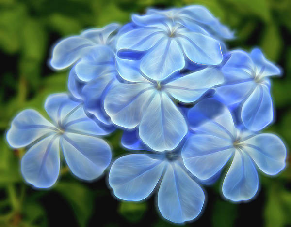 Plumbaginaceae Photograph - Softly Blue by Judy Vincent