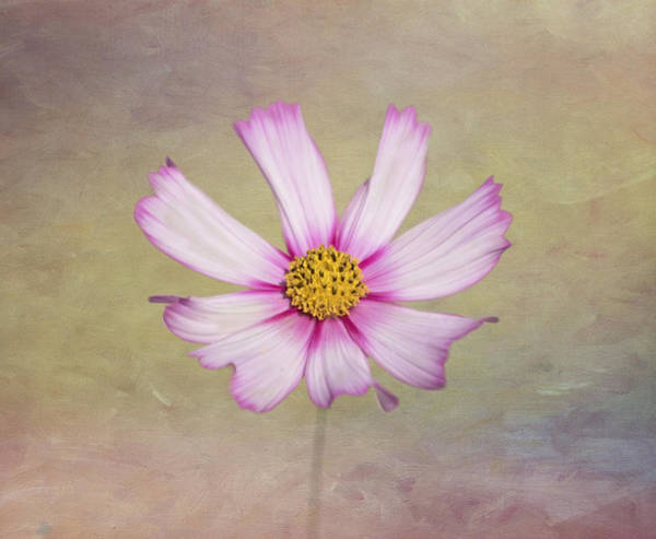 Photograph - Softly Cosmos by Kim Hojnacki