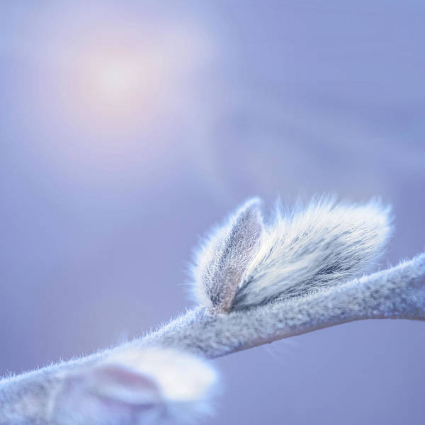 Willow Photograph - Softly Spring Arrives by Susan Capuano