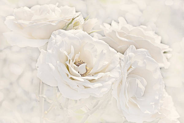 Wall Art - Photograph - Softness Of Ivory Roses by Jennie Marie Schell