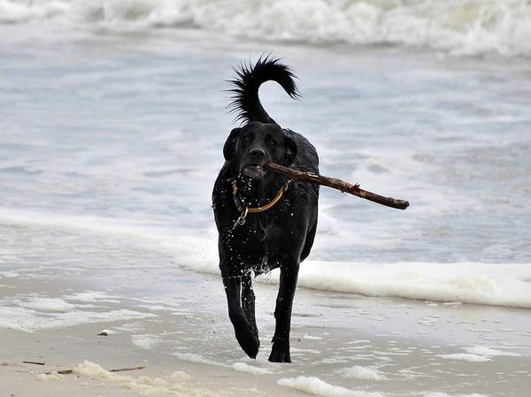Fetch Photograph - Soggy Stick by Al Powell Photography USA