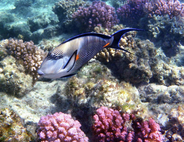 Photograph - Sohal Surgeonfish 5 by Johanna Hurmerinta