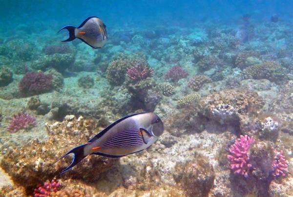 Greetingcards Photograph - Sohal Surgeonfish by Johanna Hurmerinta