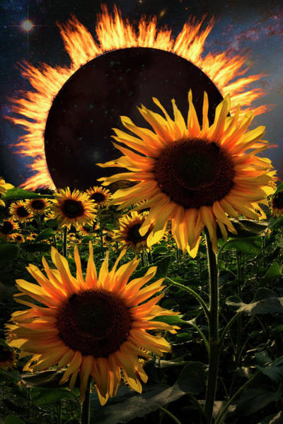 Photograph - Solar Corona Over The Sunflowers by Debra and Dave Vanderlaan