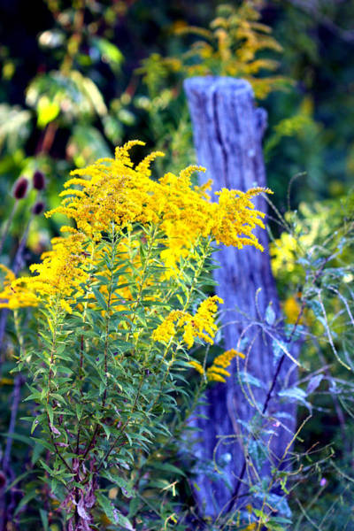Photograph - Solidago by Susie Weaver