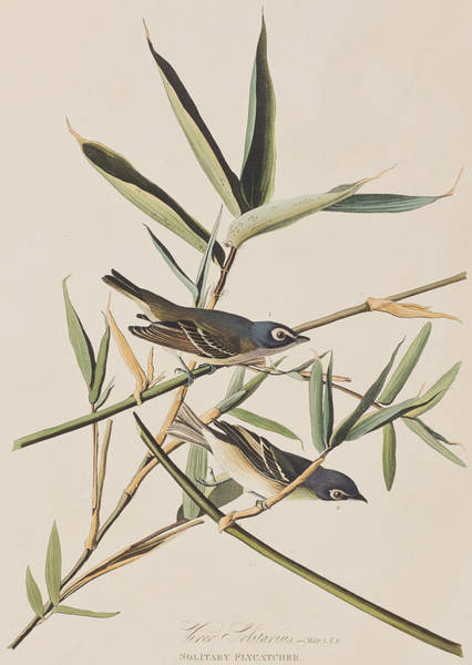 Wall Art - Painting - Solitary Flycatcher Or Vireo by John James Audubon