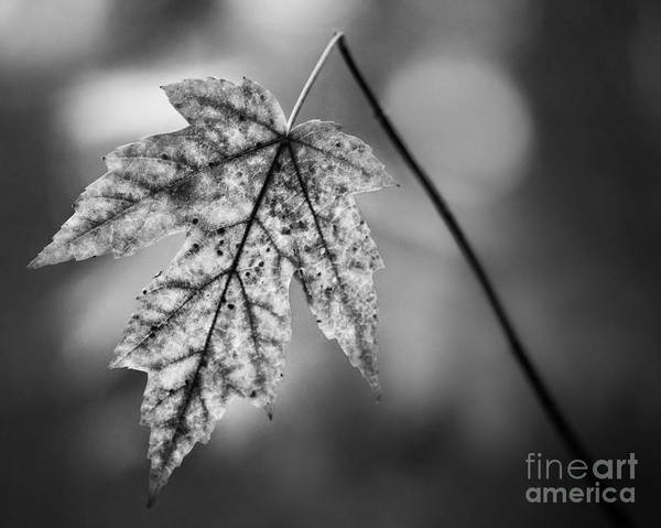 Photograph - Solitary Maple In Black And White by Michael Arend