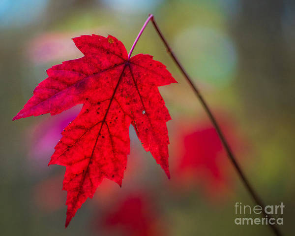 Photograph - Solitary Maple by Michael Arend