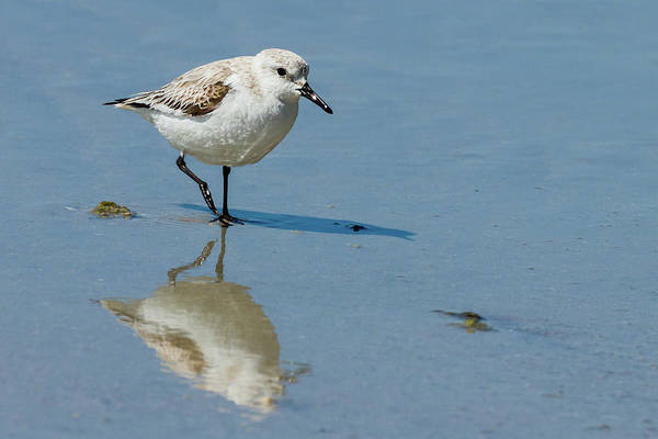 Photograph - Solitary Sanderling by Dawn Currie