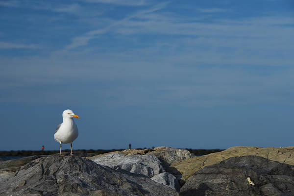 Photograph - Solitary Seagull by Jennifer Ancker